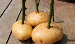 patate rose video